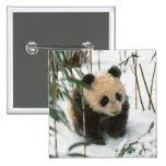 Cachorro de la panda en la nieve, Wolong, Sichuan, Pin Cuadrada 5 Cm