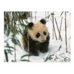 Cachorro de la panda en la nieve, Wolong, Sichuan, Postal