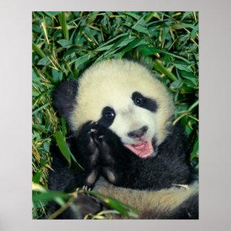 Cachorro de la panda, Wolong, Sichuan, China Poster
