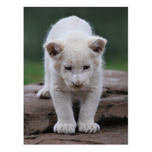 Cachorro de león blanco del bebé postal