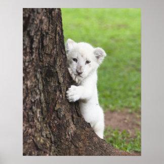Cachorro de león blanco que oculta detrás de un ár poster