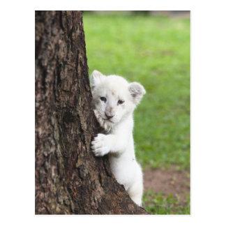 Cachorro de león blanco que oculta detrás de un postales