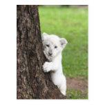 Cachorro de león blanco que oculta detrás de un postal