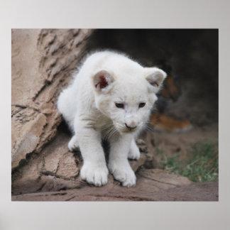 Cachorro de león blanco viejo de seis semanas del  posters
