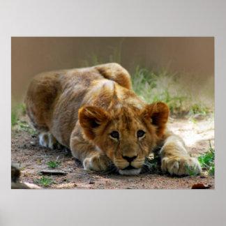 Cachorro de león del bebé poster