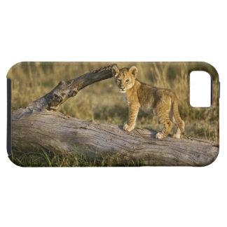 Cachorro de león en el registro, Panthera leo, Funda Para iPhone SE/5/5s