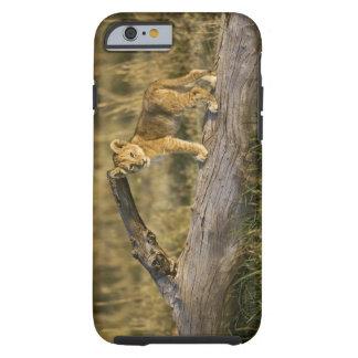 Cachorro de león en el registro, Panthera leo, Funda Resistente iPhone 6