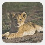 Cachorro de león, Panthera leo, mintiendo en Pegatina Cuadrada
