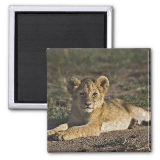 Cachorro de león, Panthera leo, mintiendo en pista Imán Cuadrado