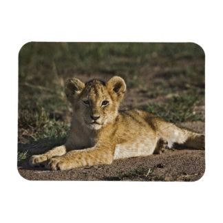 Cachorro de león, Panthera leo, mintiendo en pista Imanes