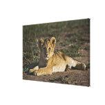 Cachorro de león, Panthera leo, mintiendo en pista Impresiones En Lona Estiradas