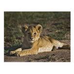 Cachorro de león, Panthera leo, mintiendo en Tarjeta Postal
