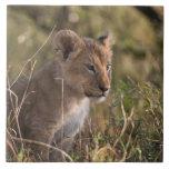 Cachorro de león (Panthera leo), nacional de Mara  Azulejos Cerámicos