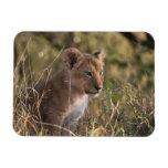 Cachorro de león (Panthera leo), nacional de Mara  Imanes