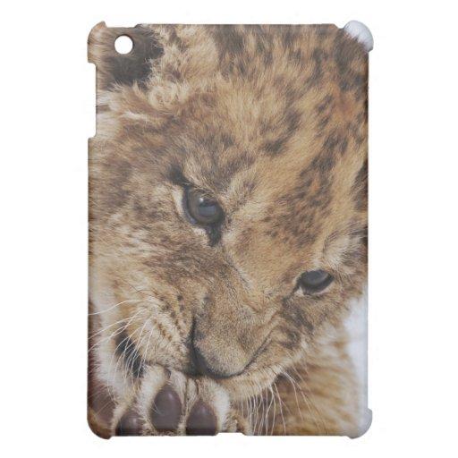 Cachorro de león (Panthera leo) que lame la pata,