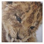 Cachorro de león (Panthera leo) que lame la pata, Azulejo Cuadrado Grande