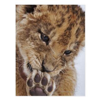 Cachorro de león (Panthera leo) que lame la pata, Postales