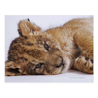 Cachorro de león (Panthera leo) que miente en el Postal