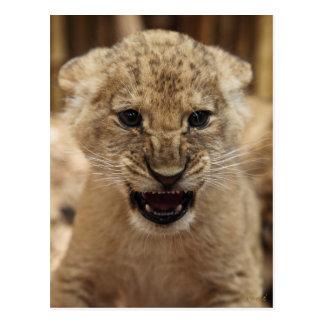 Cachorro de león que gruñe tarjeta postal