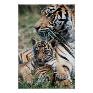Cachorro de tigre posters