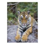 Cachorro de tigre, parque nacional de Bandhavgarh, Postal