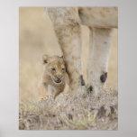 Cachorro del león (Panthera leo) que juega por los Poster