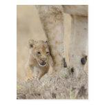 Cachorro del león (Panthera leo) que juega por los Postal