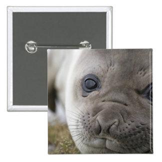 Cachorro del leonina del Mirounga del sello de ele Pin Cuadrada 5 Cm