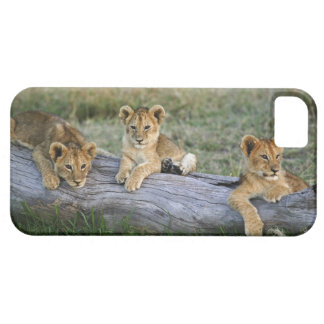 Cachorros de león en el registro, Panthera leo, Funda Para iPhone SE/5/5s