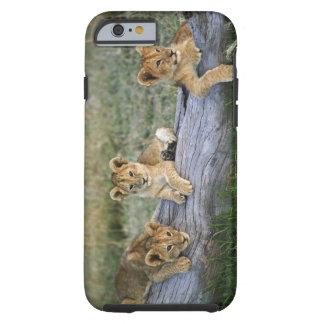 Cachorros de león en el registro, Panthera leo, Funda Resistente iPhone 6
