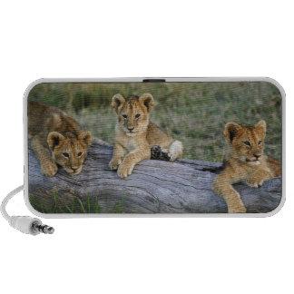 Cachorros de león en el registro, Panthera leo, Ma PC Altavoces