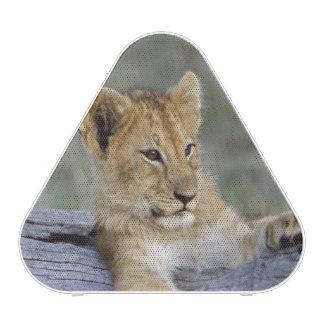 Cachorros de león en el registro, Panthera leo, Ma Altavoz