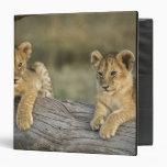 """Cachorros de león en el registro, Panthera leo, Ma Carpeta 1 1/2"""""""
