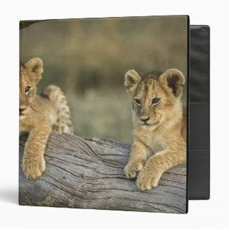 Cachorros de león en el registro, Panthera leo, Ma