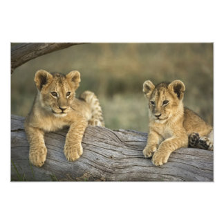 Cachorros de león en el registro, Panthera leo, Ma Cojinete
