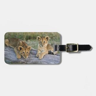 Cachorros de león en el registro, Panthera leo, Ma Etiquetas Para Equipaje