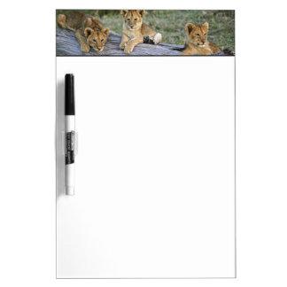 Cachorros de león en el registro, Panthera leo, Ma Pizarra