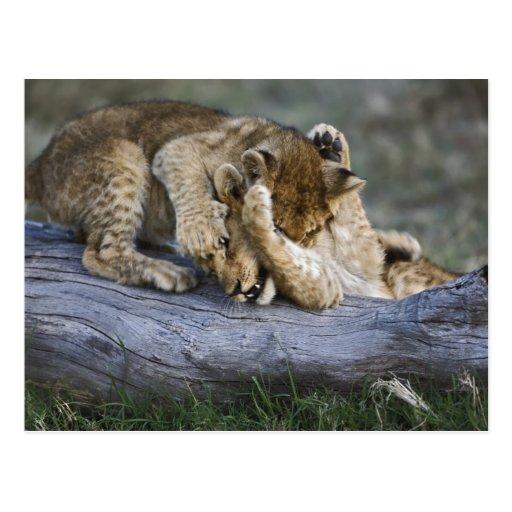 Cachorros de león que juegan en el registro, postales