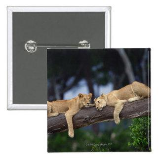 Cachorros de león que mienten en la rama de árbol, pin cuadrado