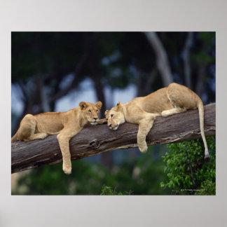 Cachorros de león que mienten en la rama de árbol, póster