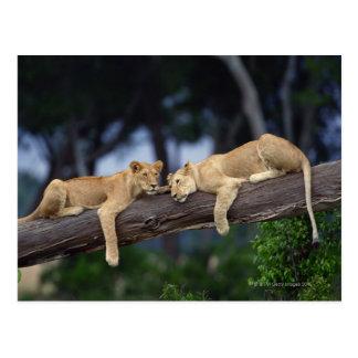 Cachorros de león que mienten en la rama de árbol, tarjetas postales