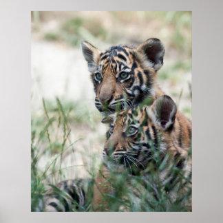 Cachorros de tigre posters