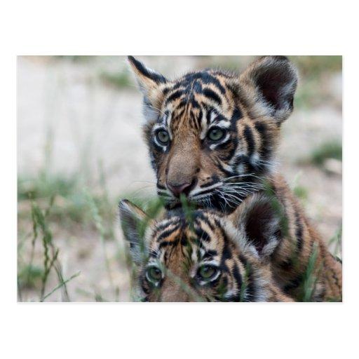 Cachorros de tigre tarjeta postal