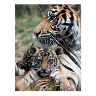 Cachorros de tigre postales