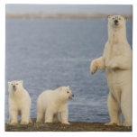 Cachorros del oso polar y su madre azulejo cuadrado grande