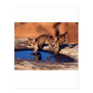 cachorros gemelos del puma tarjeta postal