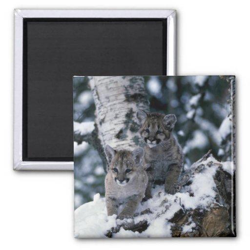 cachorros Puma-jovenes en árbol nevoso Imán Cuadrado