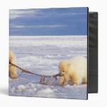 """Cachorros y carne del oso polar en el hielo de paq carpeta 1 1/2"""""""
