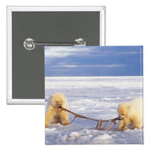Cachorros y carne del oso polar en el hielo de paq pin cuadrada 5 cm