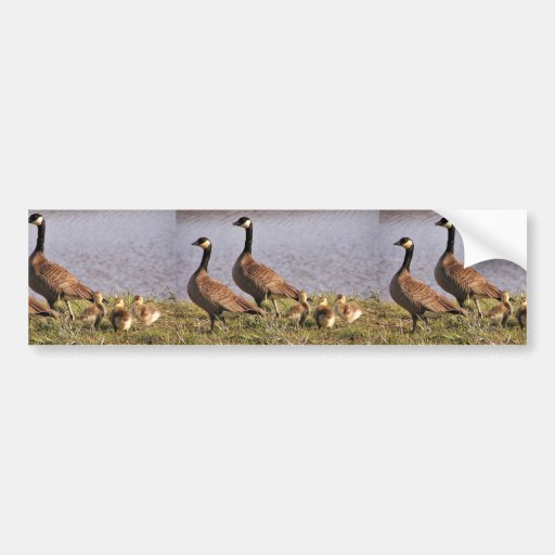 Cackling Canada goose brood Bumper Stickers